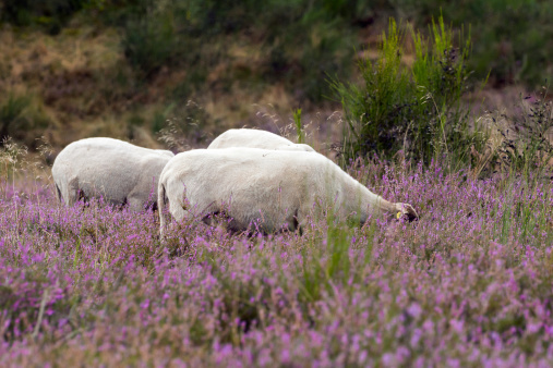 Landscape preservation with Sheeps in the Heather
