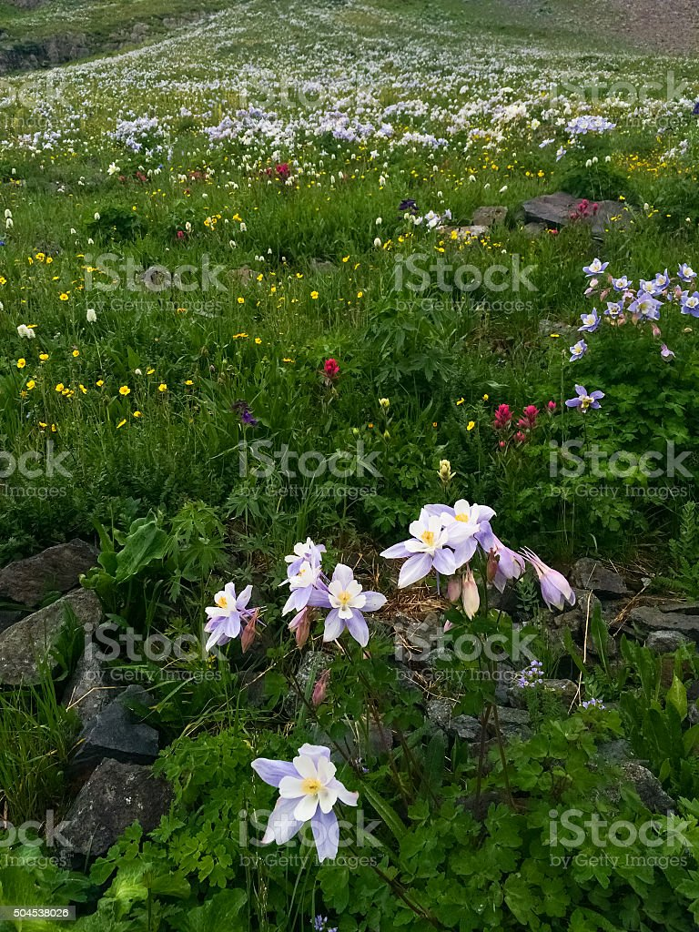 landscape rocky mountain wildflower stock photo
