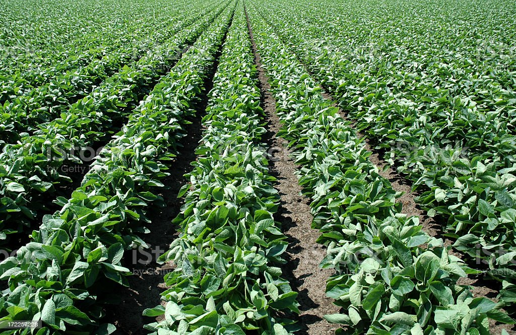 Landscape shot of lush green soybean field royalty-free stock photo