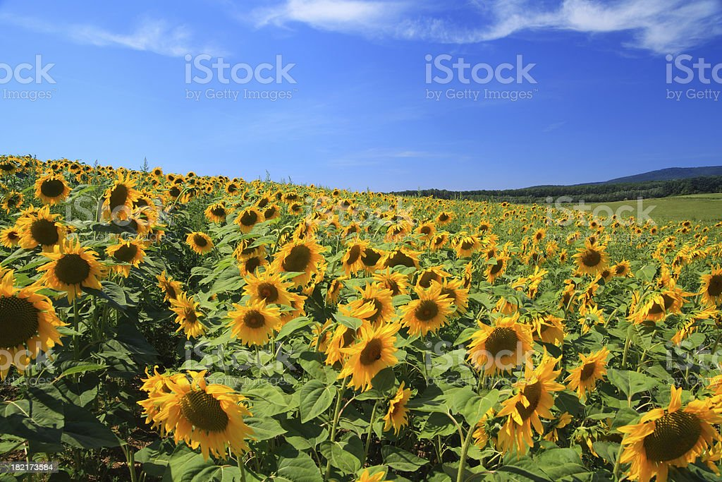 Landscape - Sunflower field royalty-free stock photo