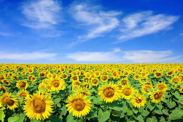 Landschaft mit Sonnenblumen – Foto