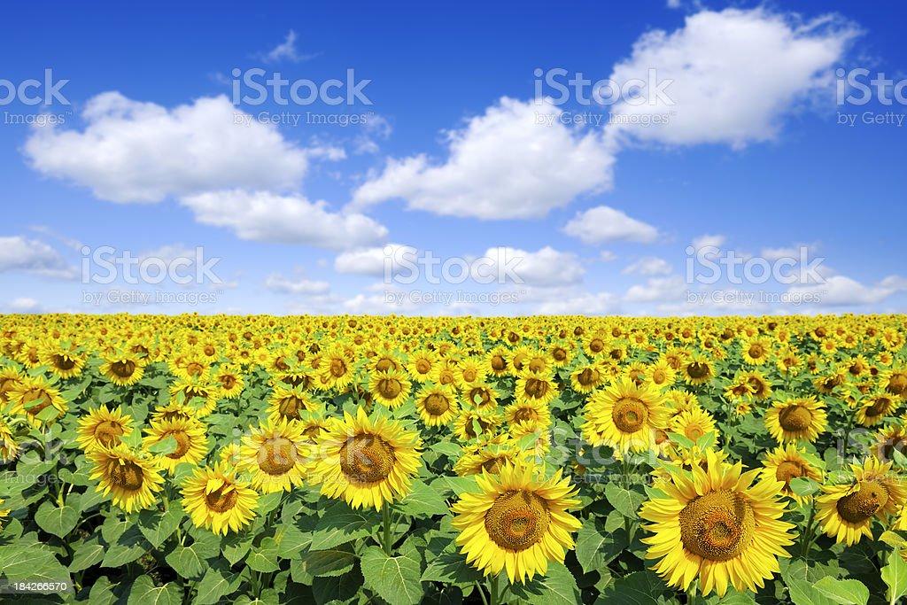 Landscape - Sunflowers royalty-free stock photo