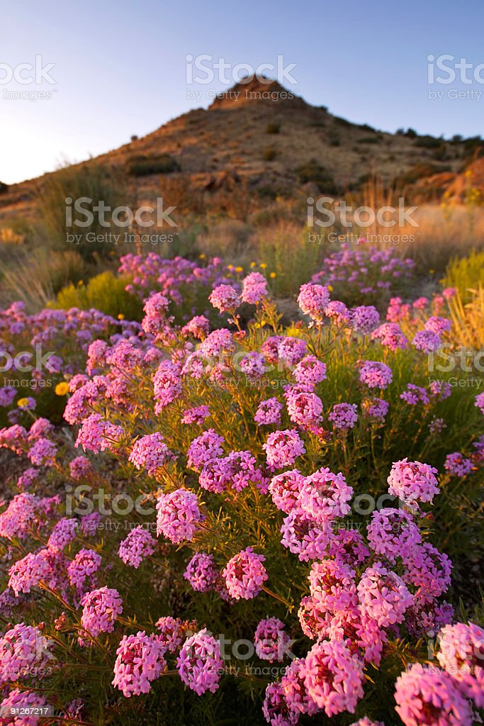 landscape sunset wildflower mountain desert royalty-free stock photo