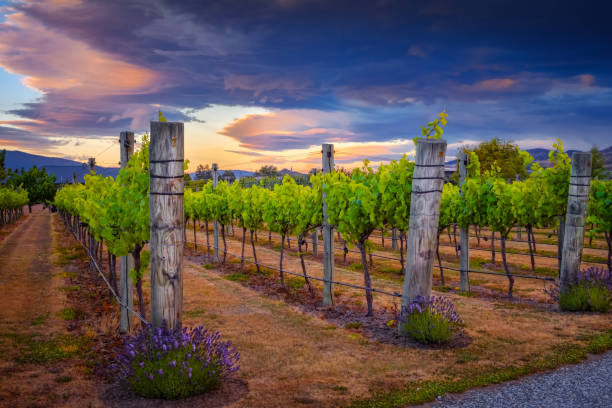 Landscape view of beautiful vintage vineyard during colorful sunset, New Zealand stock photo