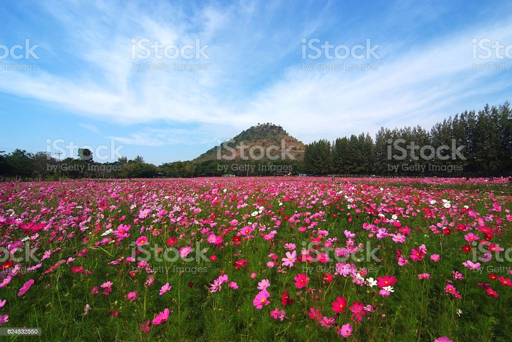 landscape view of cosmos flower field stock photo