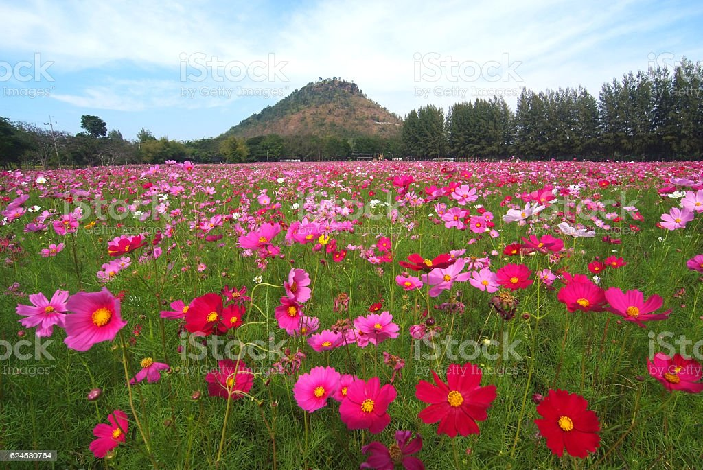 landscape view of cosmos flower stock photo