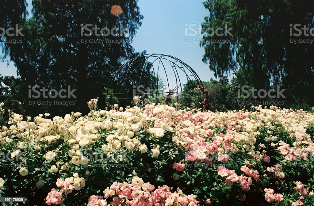 A Landscape View Of Huntington Library Rose Garden Stock Photo Download Image Now Istock