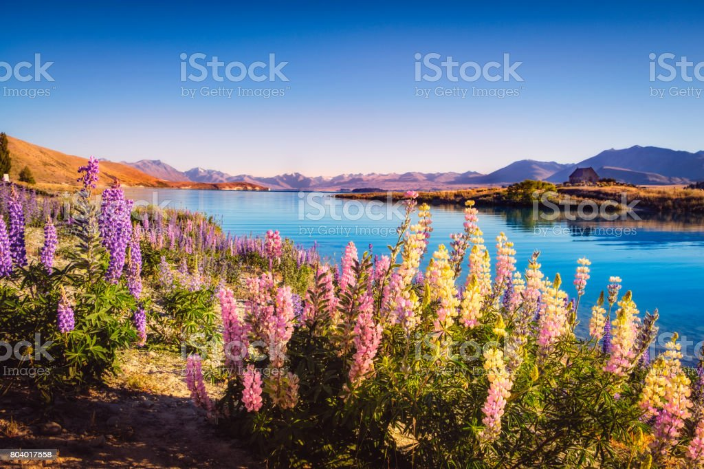 Landscape view of Lake Tekapo and flowers in dreamy style stock photo