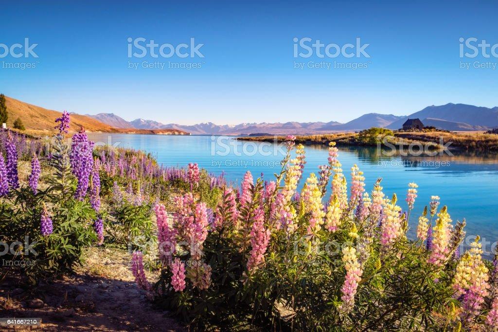 Landscape view of Lake Tekapo, mountains and lupin flowers stock photo