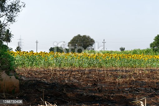 Landscape view of sunflower field in India.