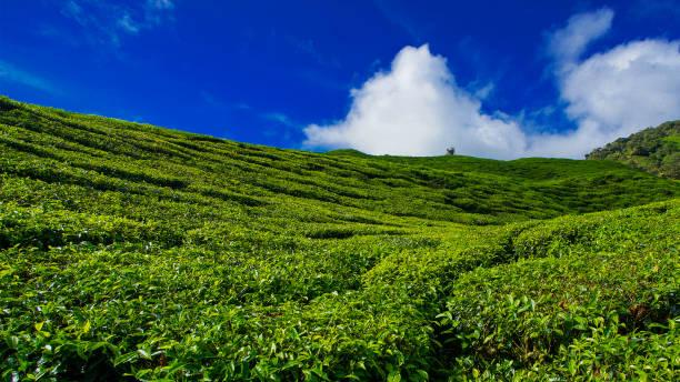 Landschaftsansicht der Teeplantage mit blauem Himmel am Morgen. Schönes Teefeld Cameron Highlands in Malaysia. – Foto