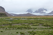 Salisbury Plains, South Georgia and Sandwich Islands, March, 2018: Penguins on the shore line.