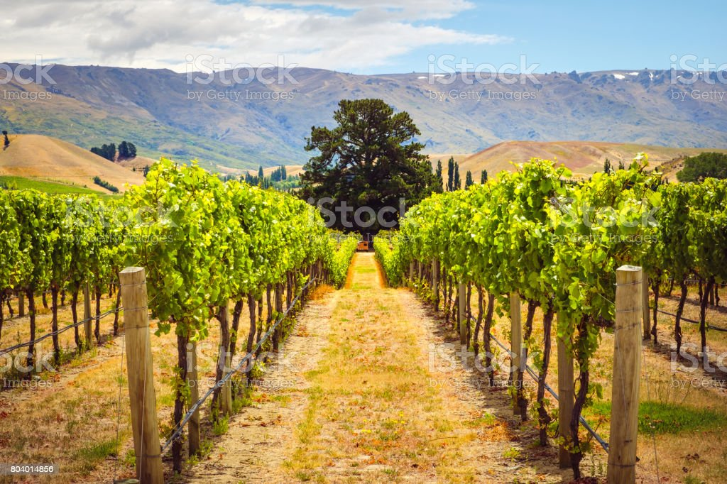 Landscape view of vineyard rows with the tree, New Zealand stock photo