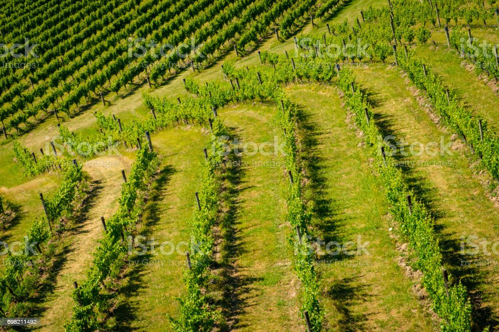 Landscape view of vineyard with rows of grapes stock photo