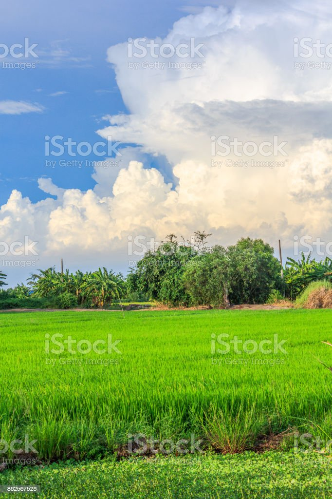 Landscape view with rice field stock photo