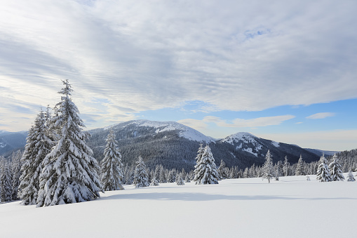 Landscape Winter Woodland In Cold Sunny Day Spruce Trees Covered With White Snow Wallpaper Snowy Background Location Place Carpathian Ukraine Europe Stock Photo Download Image Now Istock