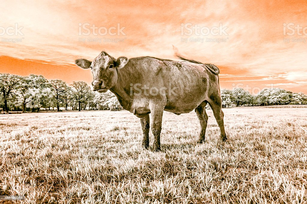 Landscape with a cow stock photo