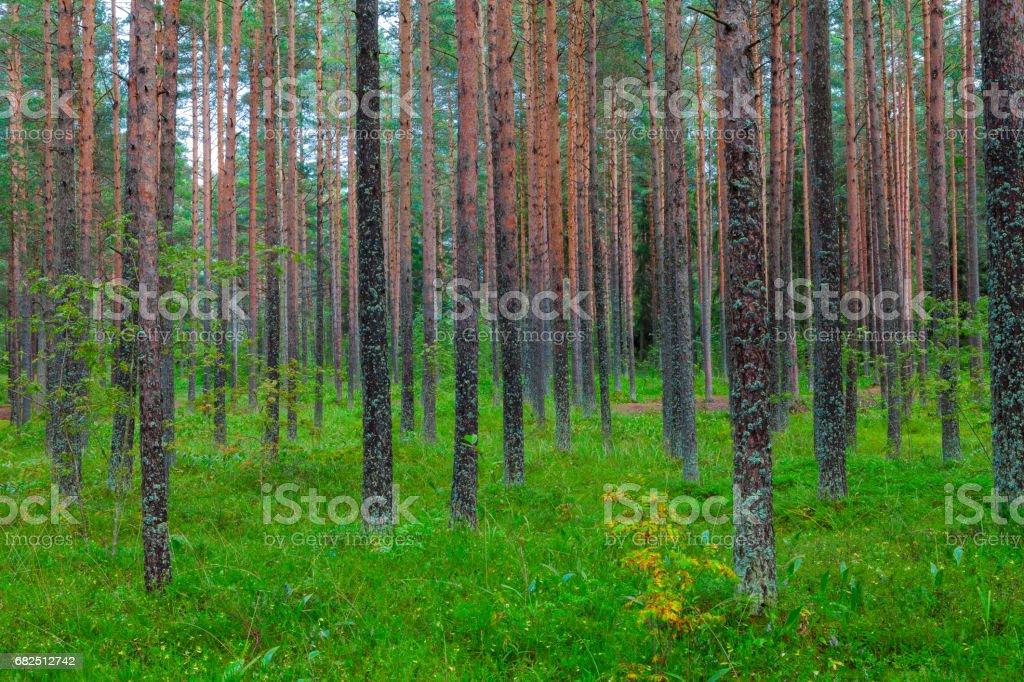 Yeşil çim örtüsü bir çam ormanı ile manzara royalty-free stock photo