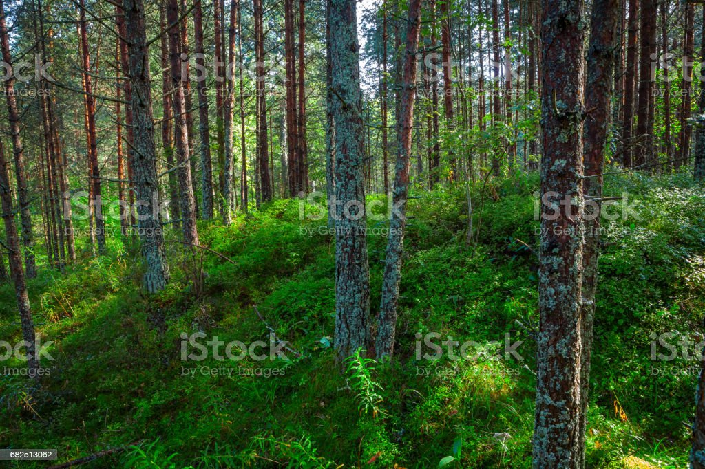 Landscape with a green grass cover through a pine forest foto stock royalty-free