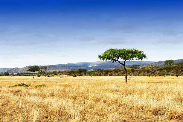Landscape with acacia trees in the Ngorongoro Crater, Tanzania Landscape with grasslands and acacia trees in world's largest caldera,Tanzania. Home to the Big Five.  east africa stock pictures, royalty-free photos & images