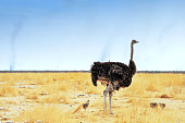 Side view of an ostrich with some chicks  walking during the heat of the day in the grasses of the savannah during the dry season.