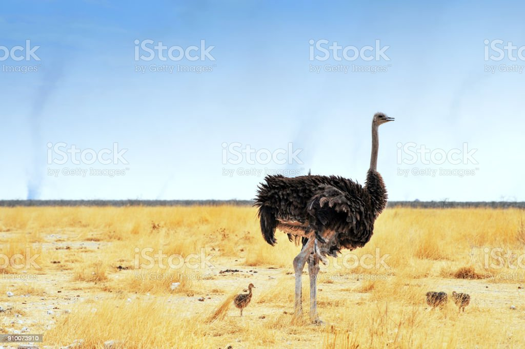 Landscape with an ostrich with chicks walking in the savannah, Etosha National park,Namibia stock photo