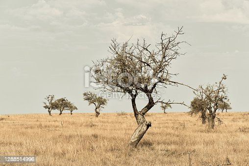 istock Landscape with beautiful abstract trees in dry arid area with dry grass 1288514996