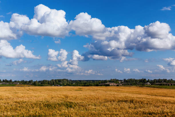 Cтоковое фото Landscape with beautiful clouds in the blue sky and ripe ears in the field