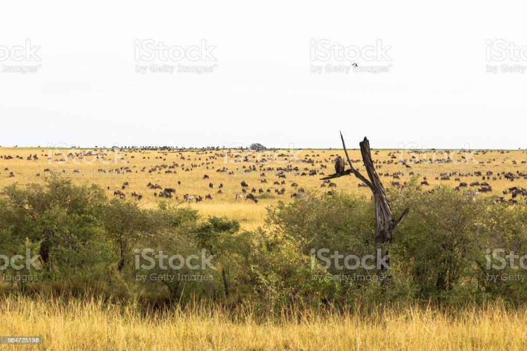 Landscape with big herds. Great migration. Kenya, Africa royalty-free stock photo