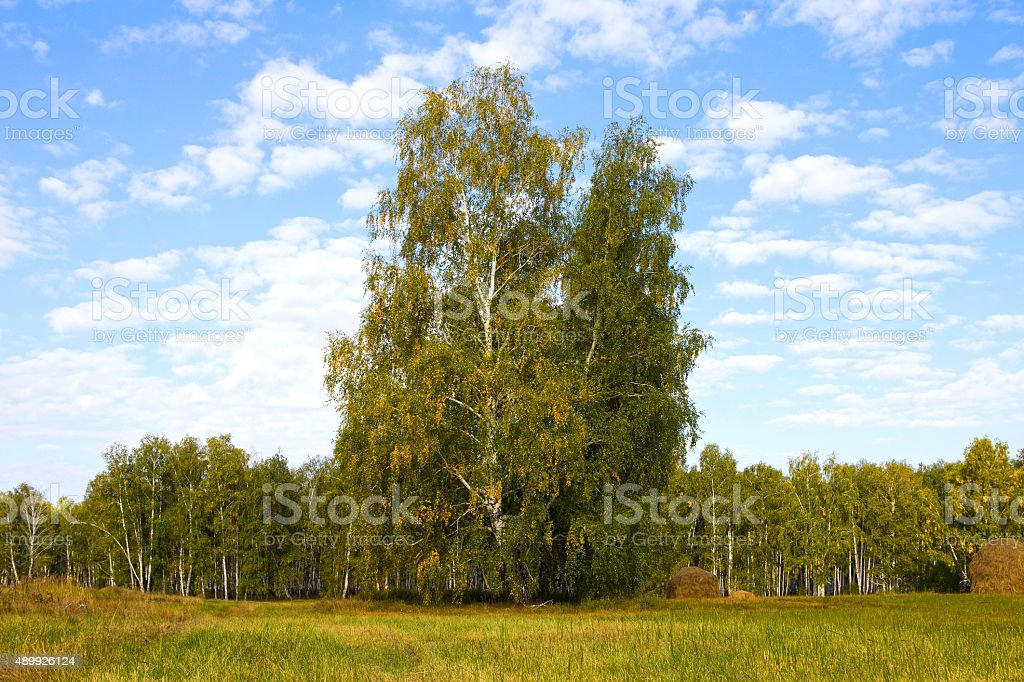 Landscape with birch on background blue sky stock photo