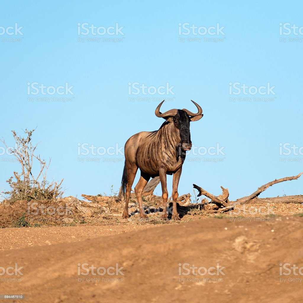 Landscape with blue wildebeest looking at camera stock photo