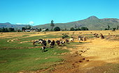 Cattle belonging to a masai village in northen Kenya.See also my LB: