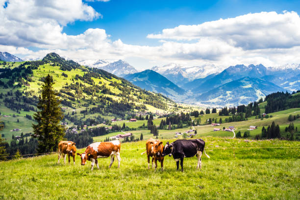 landscape with cows in the Bernese Oberland Switzerland landscape with cows in the Simmental, Bernese Oberland in Switzerland swiss alps stock pictures, royalty-free photos & images