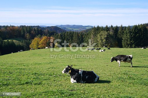 istock Landscape with cows on pasture land in October. Black Forest, Germany. 1198250037