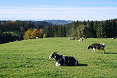 Landscape with forest, trees, mountains and black and white cows on verdant green pasture land in October. Black Forest, Germany.