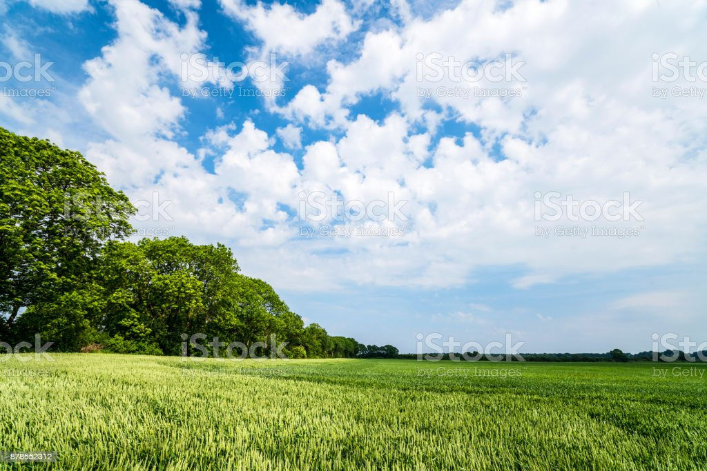 Landscape with fields of grain in the summer stock photo