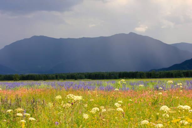 landscape with flower meadow and mountains - państwowy rezerwat przyrody altay zdjęcia i obrazy z banku zdjęć