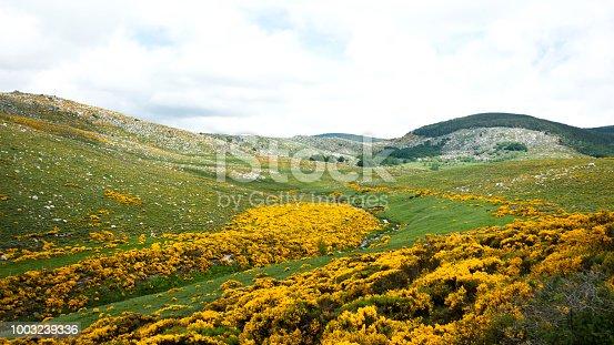 Flowering broom in Mont Lozère, Cevennes National Park, France