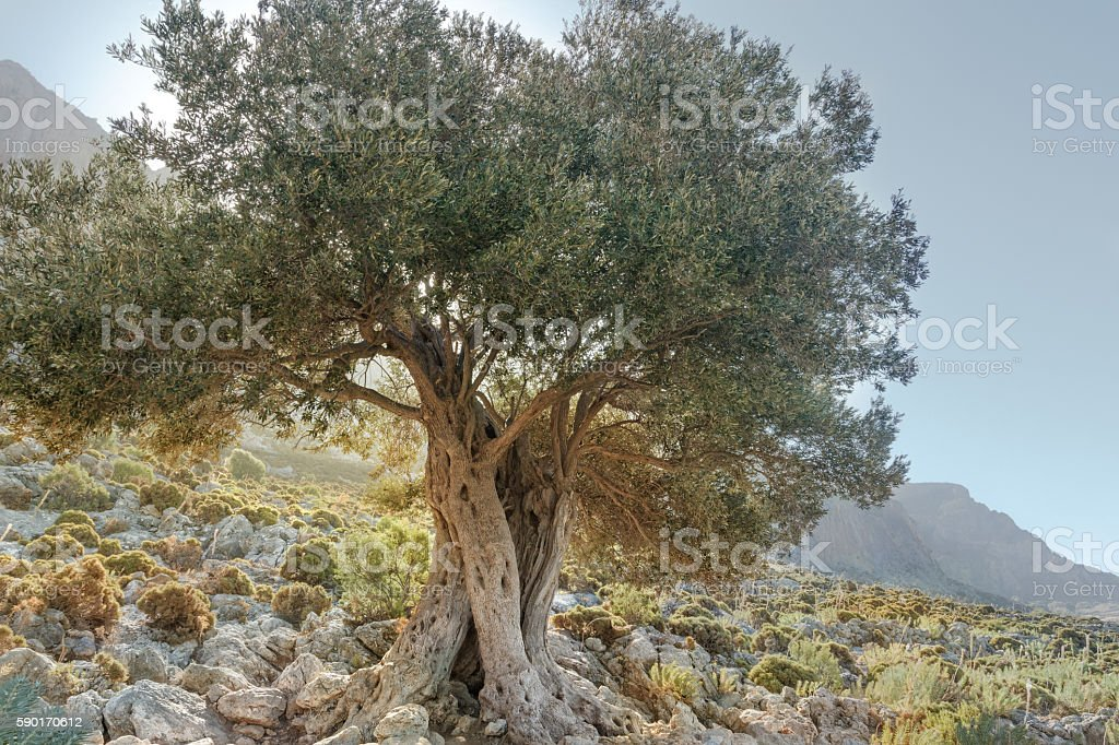 Landscape with gnarled old evergreen olive tree in Greece stock photo