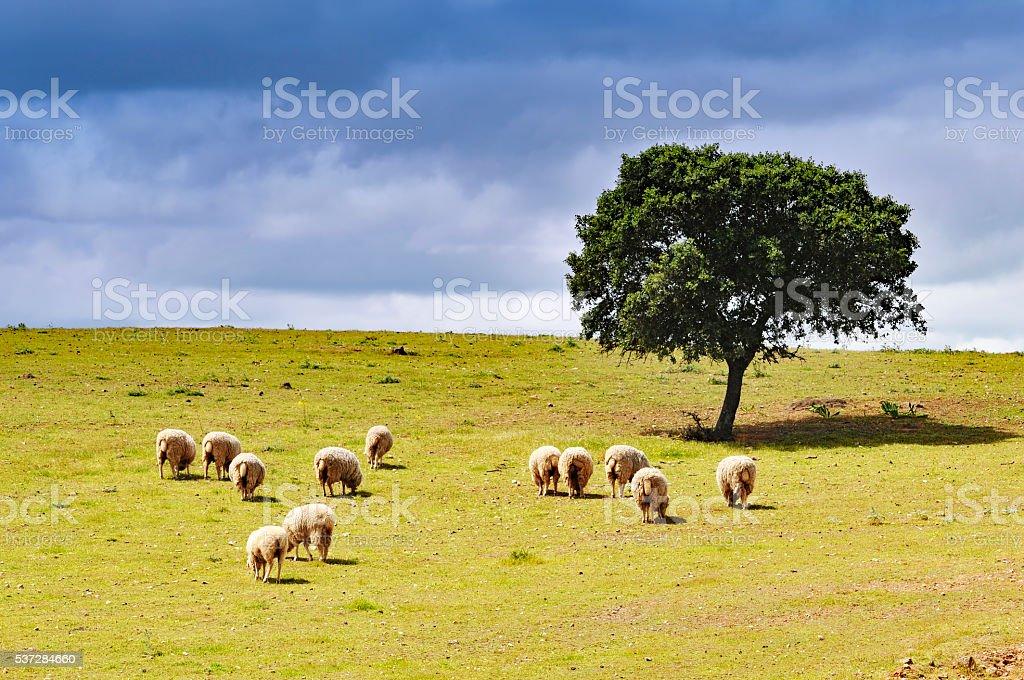 Landschaft mit Grasen Schafe und Korkeiche, Alentejo, Portugal – Foto