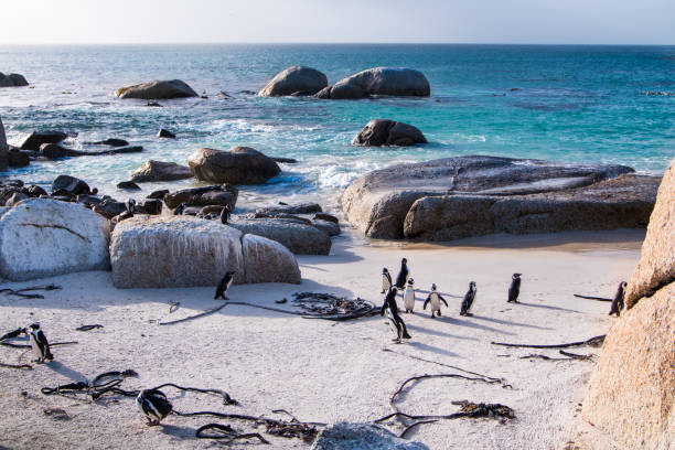 Landscape with Jackass penguins on the beach stock photo