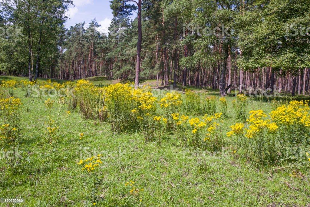 Landscape with Jacobaea vulgaris plants. stock photo
