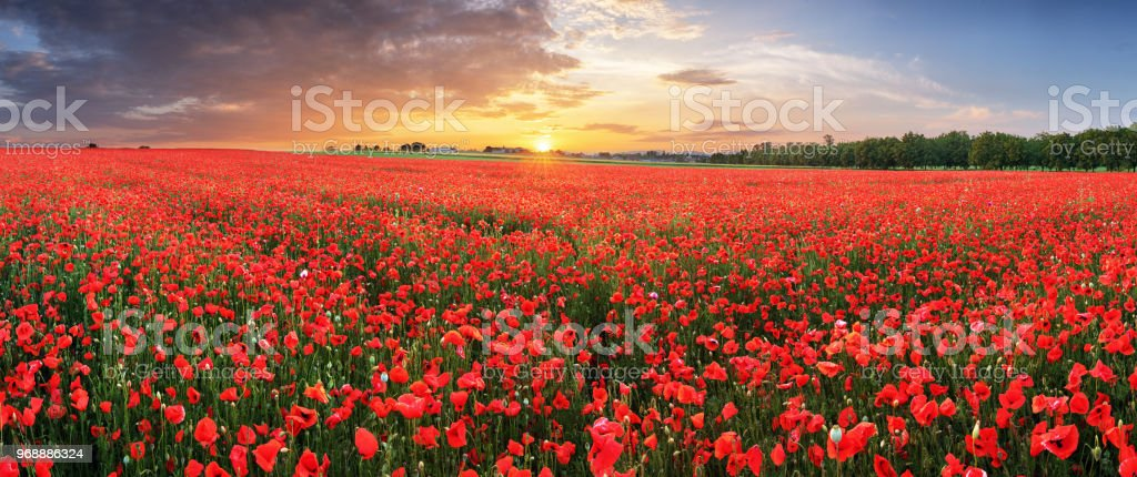 Landscape with nice sunset over poppy field - panorama foto stock royalty-free