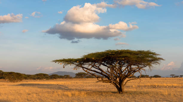 Landscape with nobody tree and clouds in Africa stock photo