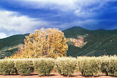 Olive groves at the foothills of the mountains. Tuscany, late summer. Some motion blur in the leaves (long shutter time)