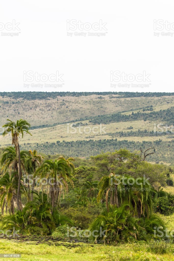 Landscape with palm tree in savanna. Kenya, Africa zbiór zdjęć royalty-free