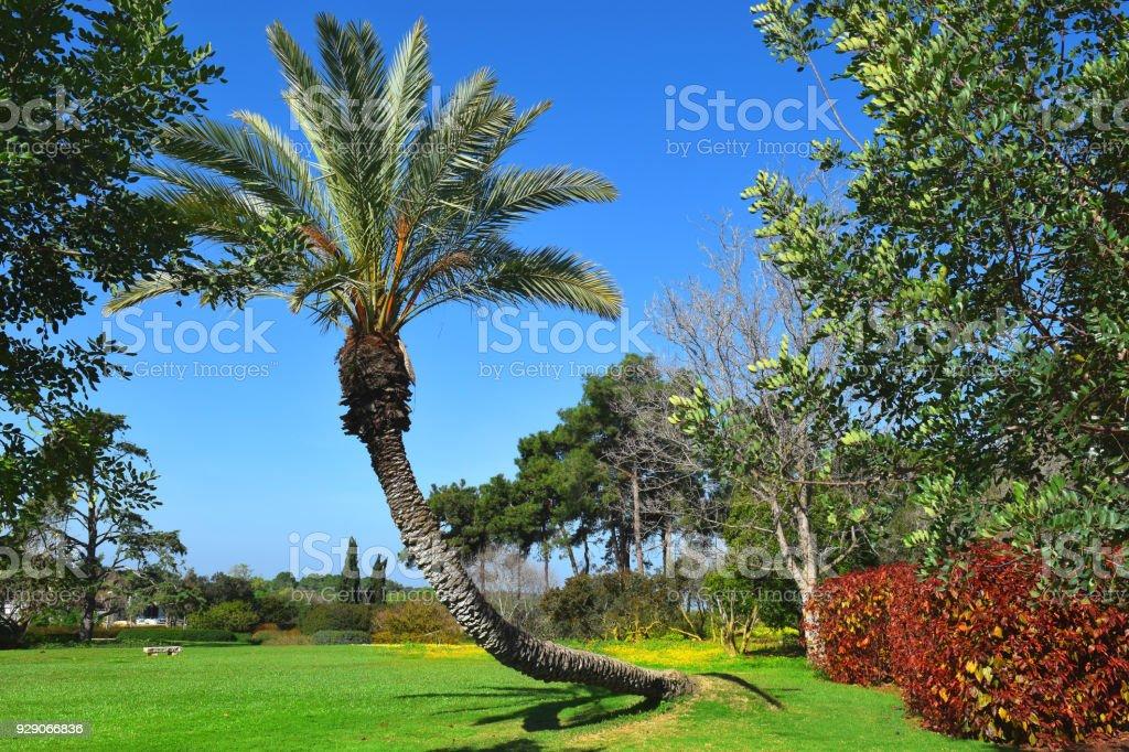 paisagem com árvore de palma no parque público Ramat Hanadiv, Israel - foto de acervo
