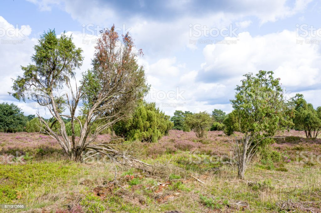 Landscape with pine trees and juniper berries. stock photo