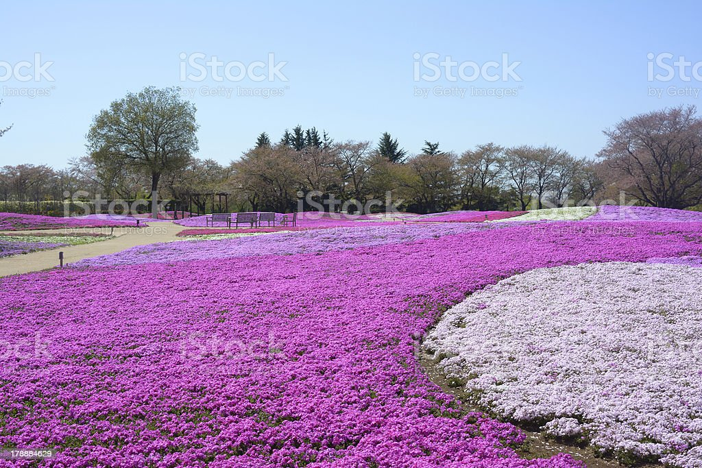landscape with pink flowers, pink-moss, shibazakura royalty-free stock photo