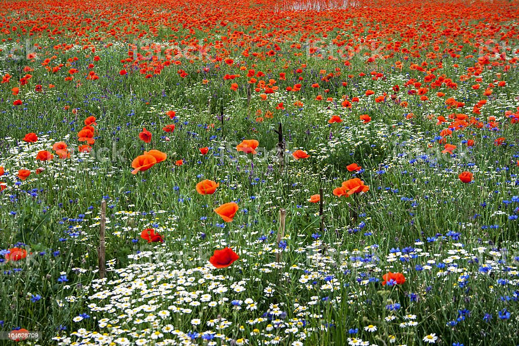 Landscape with poppies and chamomile royalty-free stock photo